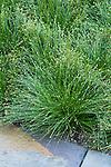 SCIRPUS CERNUUS, FIBER OPTIC GRASS