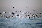 Common Eiders (sea ducks) in flight, Monomoy National Wildlife Refuge, Cape Cod, Massachusetts