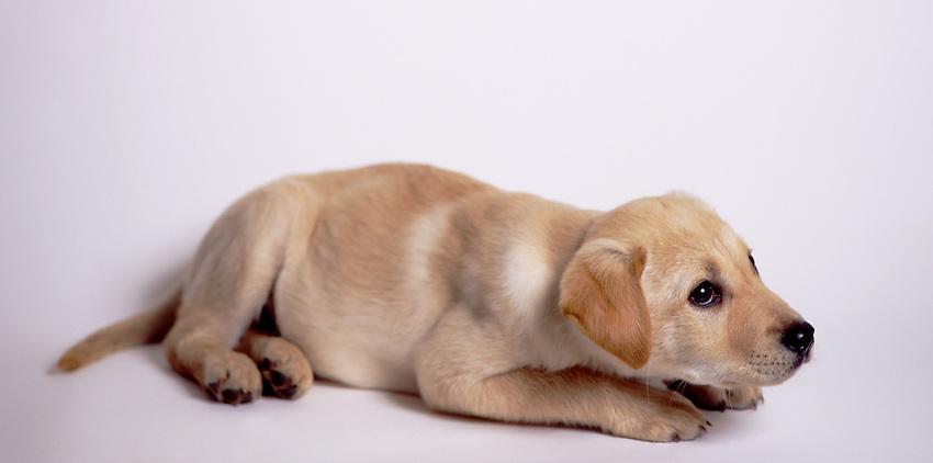 Young Dog, Golden Labrador Retriever, Puppy, Canis lupus familiaris
