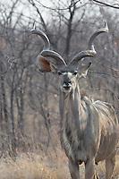 Male Kudu near Halali in Etosha