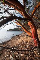 Madrona Tree (Arbutus menziesii) at Lime Kiln State Park, San Juan Island, Washington, US