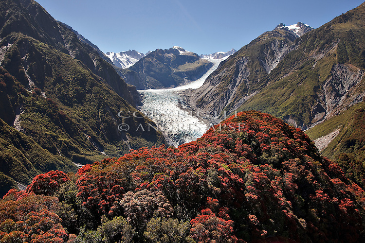 Rata trees in flower, Fox Glacier in background in the Westland National Park. New Zealand.