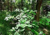 Oak leaves, Derbyshire.