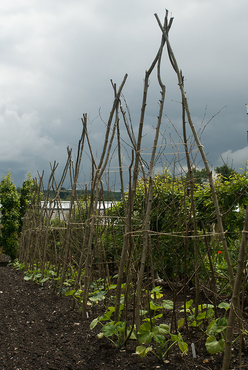 Hazel wigwams to support climbing beans, squashes or cucumbers.