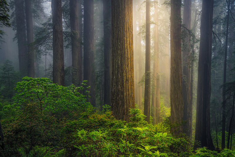 Early morning fog and Redwood trees. Redwood National and State Park, CA