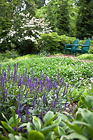 Salvia 'May Night' in Susan Harris back yard garden with clover lawn groundcover