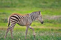 Young Burchell's Zebra (Equus Burchelli) Africa.