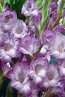 Gladioli sprays 'Hidden Treasure' lavender blue with white