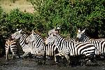 Zebras crossing the water in Africa