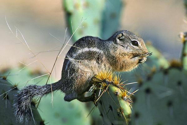 Harris's antelope squirrel (Ammospermophilus harrisii) on prickly pear, Sonoran Desert, Arizona.