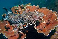 Ornate Wobbegong, Orectolobus ornatus, Cook Island Marine Reserve, Tweed Heads, New South Wales, Australia, South Pacific Ocean
