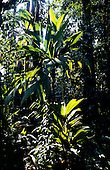 Osa Peninsula, Costa Rica. Corcovado National Park; trail through the rainforest; young palms in the understorey.