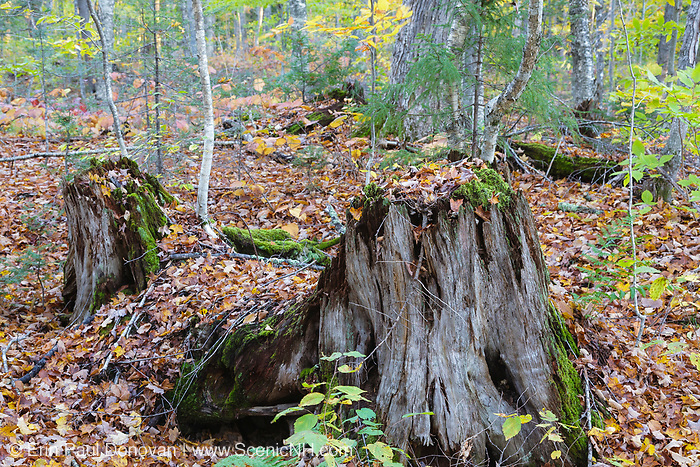 Decaying tree stump along the old Swift River Railroad in Livermore, New Hampshire USA. This was an logging railroad in operation from 1906 - 1916
