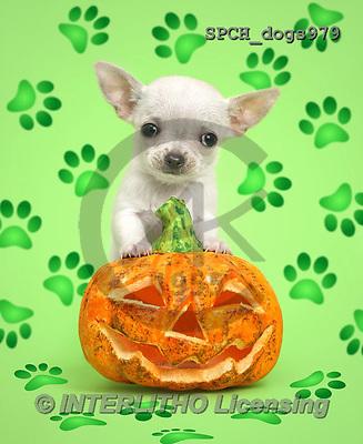 Xavier, ANIMALS, REALISTISCHE TIERE, ANIMALES REALISTICOS, dogs, photos+++++,SPCHDOGS979,#A#