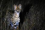 Serval (Leptailurus serval), Chyulu Hills National Park, Makuene, Kenya<br /> <br /> Canon EOS R5, EF100-400mm f/4.5-5.6L IS II USM lens, f/5.6 for 1/200 second, ISO 12800