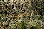 Raja Ampat epaulette shark (Hemiscyllium sp.) North Raja Ampat, West Papua, Indonesia