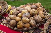 Peru, Urubamba Valley, Quechua Village of Misminay.  Cultural Tourism.  Villagers Display Local Agricultural  Products: Potatoes.