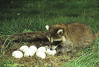MA25-245z  Raccoon - young raccoon exploring nest of eggs - Procyon lotor