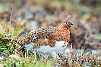 Willow Ptarmigan, Denali National Park, Alaska, Lagopus lagopus