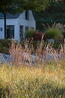 Little Bluestem grass (Schizachyrium scoparium) in reddish fall color in midwest meadow garden