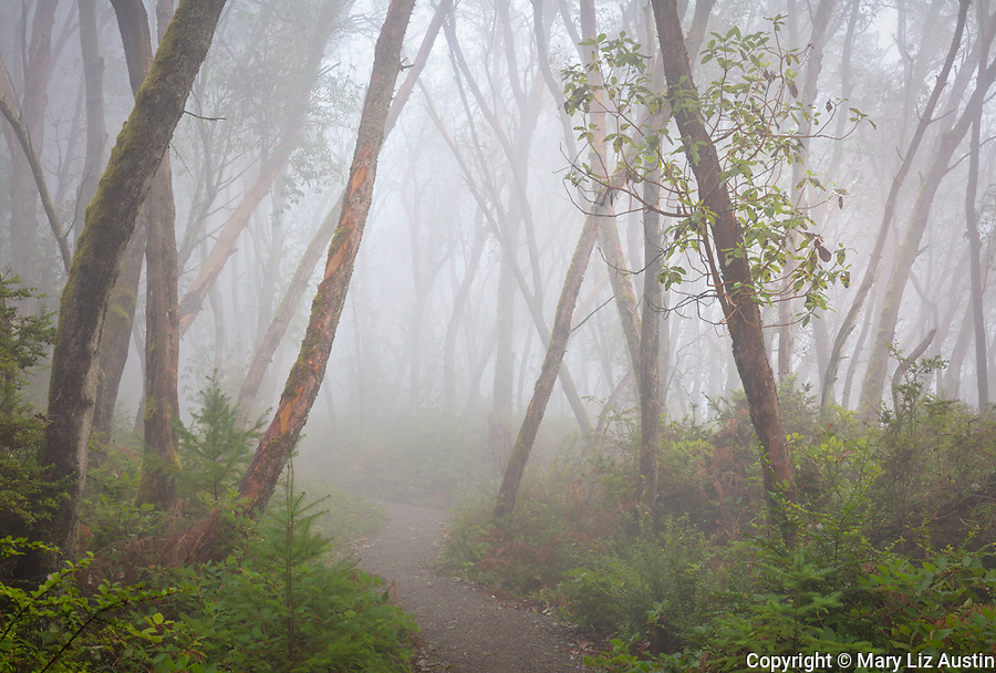 Vashon-Maury Island, WA: Trail through a foggy Madrona forest in Maury Island Natural Area a part of Dockton Forest