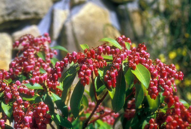 Japanese Andromeda bush Passion in spring bloom with many bunches of red bell like flowers on a deer-proof garden plant