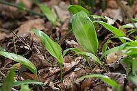 Bärlauch, Bär-Lauch, Blätter, Blatt, Allium ursinum, Ramsons, Wood Garlic, Wood-Garlic