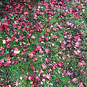 Fallen leaves of red Japanese maple (Acer palmatum), late October.