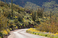 Ajo Mountain Road, Organ Pipe Cactus (Stenocereus thurberi) with Brittlebush (Encelia farinosa), Organ Pipe Cactus National Monument, Arizona