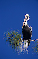 Brown Pelican, Pelecanus occidentalis, adult on pine tree, Sanibel Island, Florida, USA