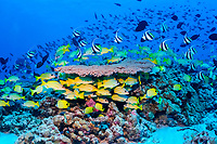 reef fish and table coral, French Frigate Shoals, Papahanaumokuakea Marine National Monument, Northwestern Hawaiian Islands, USA, Pacific Ocean