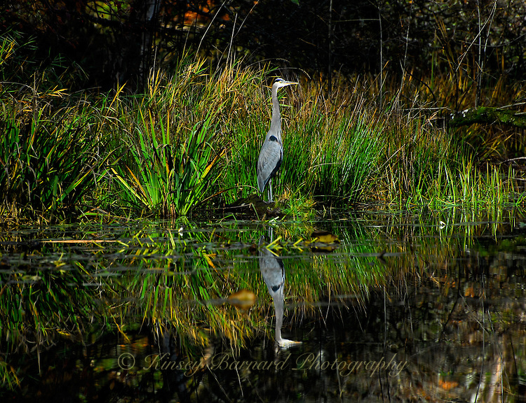 """GREAT BLUE REFLECTING""<br />