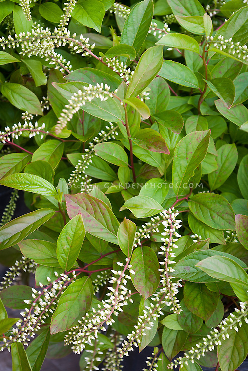 Itea virginica Henry's Garnet sweetspire in bud flower in spring
