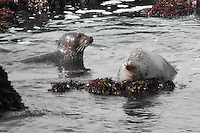 At least a couple dozen harbor seals were basking in the morning sun at Bean Hollow State Beach.  Most were on the rocks, unlike these two in the shallow water.