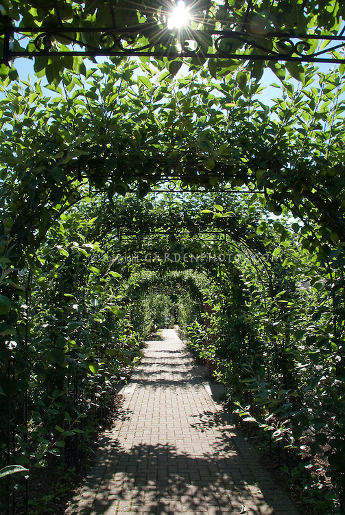 Allee of apple fruit trees with starbust, blue sky