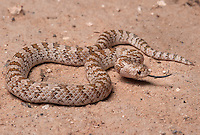 Chihuahuan Hook-Nosed Snake -<br />  Gyalopion canum - One of two species of hook-nosed snake whose range barely extends into the U.S. in Southern Arizona.