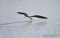 0908-0911  Black Skimmer Flying Foraging for Food (Fish), Skimming Surface of Water for Fish with Lower Mandible, Rynchops niger © David Kuhn/Dwight Kuhn Photography
