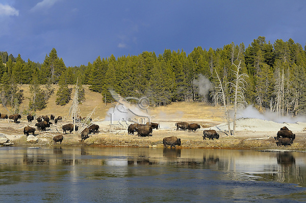 Bison herd grazing near thermal area along Yellowstone River.  Yellowstone National Park, fall.