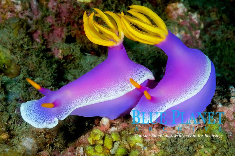 Purple chromodoris, Hypselodoris apolegma, Pemuteran, Bali, Indonesia, Indopacific Ocean