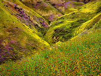 Foreground of Devil's Lettuce or Fiddleneck (Amsinckia tessellata) with flower covered hills. Carrizo Plain National Monument, California