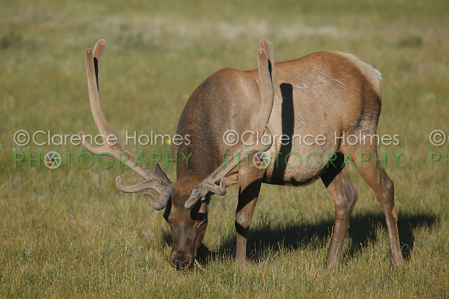 Bull Elk (Cervus canadensis) with new antlers covered with velvet, Yellowstone National Park