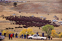 Annual Buffalo Roundup Custer State Park South Dakota.