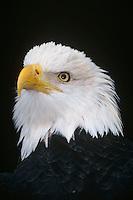 Bald Eagle (Haliaeetus leucocephalus) portrait.