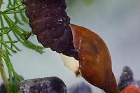 Kolbenwasserkäfer, Kolben-Wasserkäfer, Larve im Wasser hat Wasserschnecke, Schnecke erbeutet und frisst sie, Hydrous spec., black water beetle, silver water beetle, diving water beetle