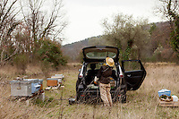 Beekeeper Amanda Dowd tries to transfer the honeybees who were loose inside her car, having escaped from their hive during the drive from their mountain location to their final spring transhumance destination, coaxing them one by one onto a stick and putting them back in their hive, Pont du Loup, Alpes Maritimes, France, 18 February 2014. Here the bees will be able to take advantage of the spring flowers already in bloom at lower altitudes before Asian hornets arrive in May.
