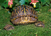 """""""family"""" portrait, Adult ornate Box Turtle poses with 2 baby 3 Toed Box Turtles on mossy garden under Columbine flowers"""