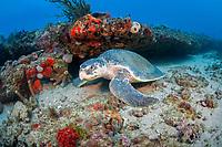 Kemp's ridley sea turtle, Lepidochelys kempii, extremely rare to be found in northern Palm Beach, Florida, USA, Caribbean Sea, Atlantic Ocean