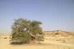 T-148 Acacia trees in Nahal Tzihor