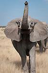 African elephant, Etosha National Park, Namibia. (This species is found in many African countries including South Africa, Botswana, Zambia, Zimbabwe, Namibia, Tanzania, Kenya, Rwanda, Uganda, Angola, Democratic Republic of Congo)