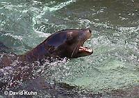 0406-1019  California Sea Lion Barking in Water, Zalophus californianus  © David Kuhn/Dwight Kuhn Photography.